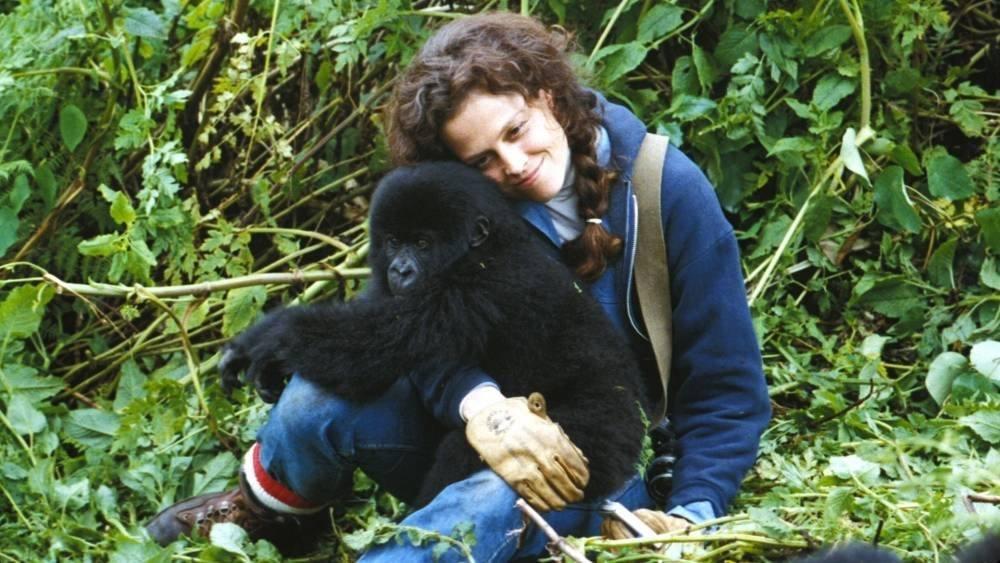 A gorillák védőszentje